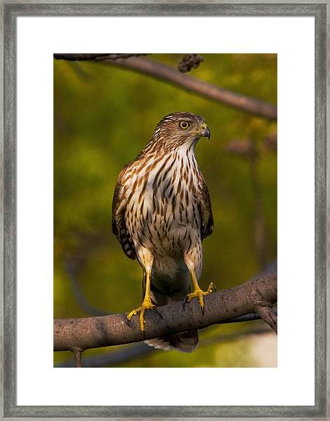 Framed Print featuring the photograph Coopers Hawk by David Armstrong