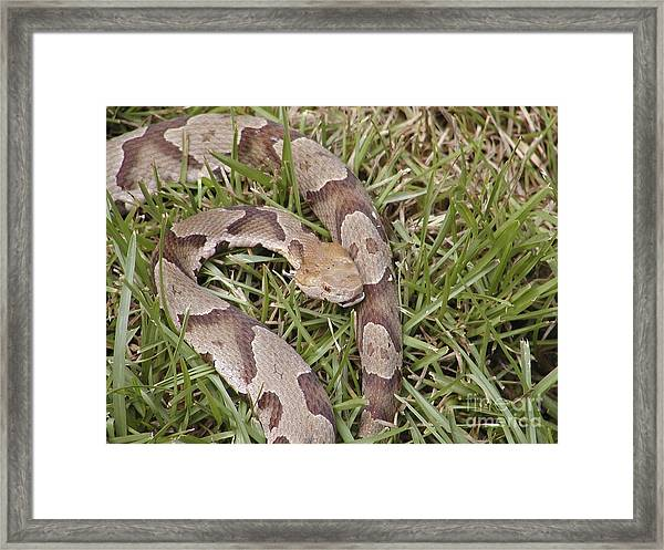 Copperhead Framed Print