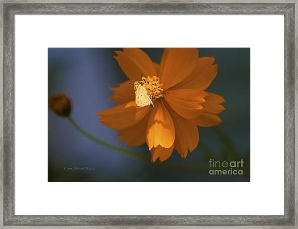 Coreopsis Framed Print