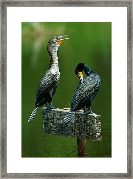 Cormorant Courtship Framed Print