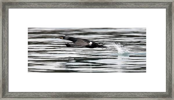 Cormorant Taking Off From The Sea Framed Print