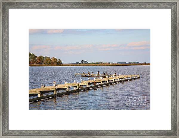 Cormorants And Seagulls On Old Dock Near Blackwater  National Wildlife Refuge Near Cambridge Md Framed Print