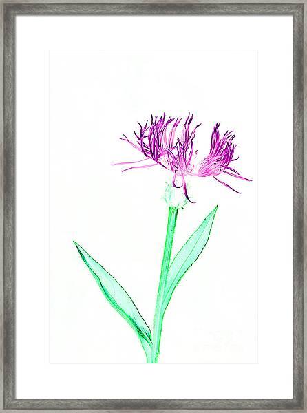 Cornflower No.3 Framed Print