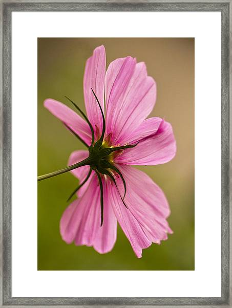 Cosmos In Pink Framed Print