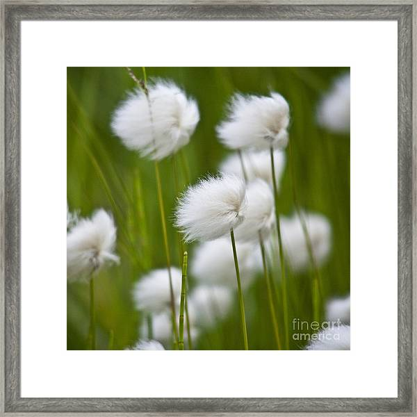 Cottonsedge Framed Print
