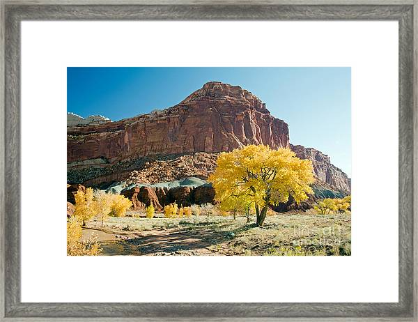 Cottonwoods In Fall The Castlecapitol Reef National Park Framed Print
