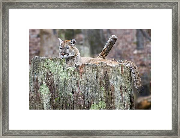 Cougar On A Stump Framed Print