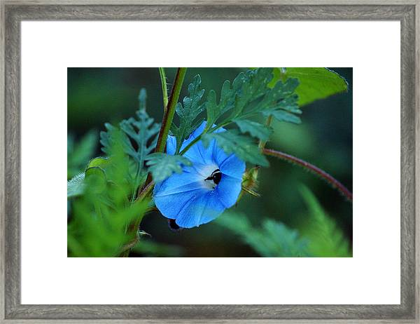 Country Blue Framed Print