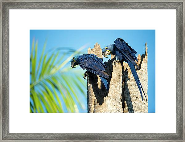 Couple Of Hyacinth Macaws Framed Print