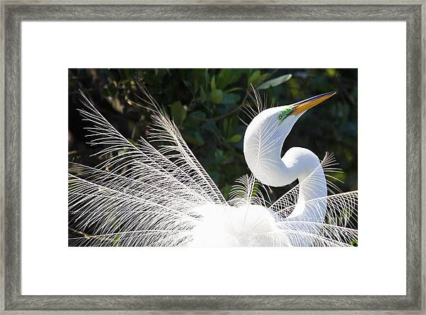 Courting Dance Framed Print