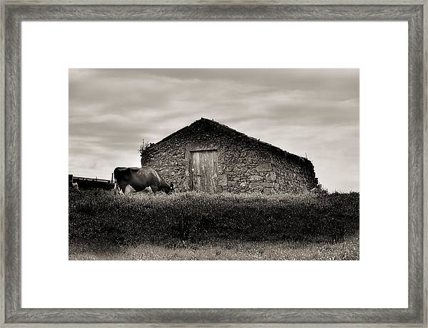 Cow Grazes At Rustic Barn  Framed Print