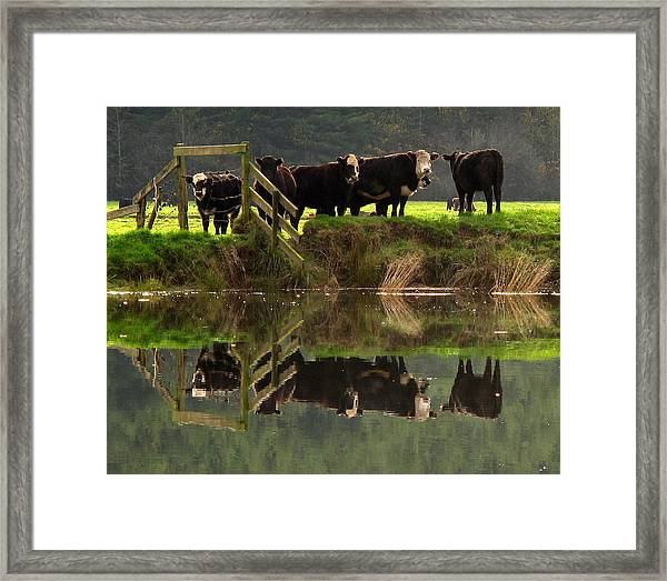 Cow Reflections Framed Print