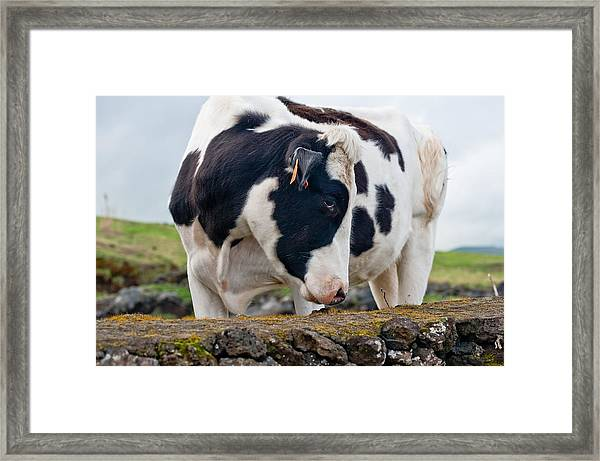 Cow With Head Turned Framed Print
