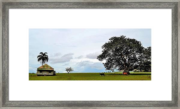 Cows And Shack - Australia Framed Print