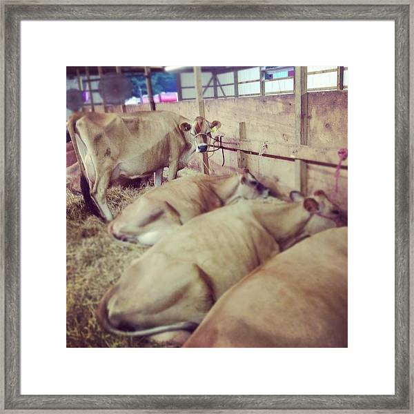 Cows At The Fair Framed Print
