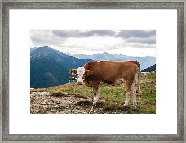 Cows On Field Against Mountains Framed Print by John Thurm / EyeEm