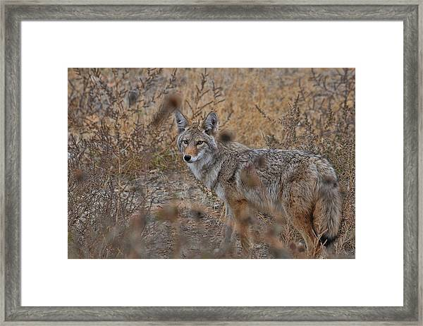 Framed Print featuring the photograph Coyote by David Armstrong