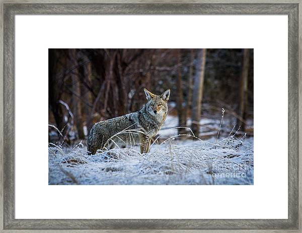 Coyote In The Meadow  Framed Print