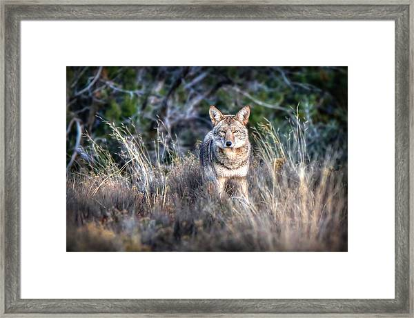 Coyote Stare Down Framed Print