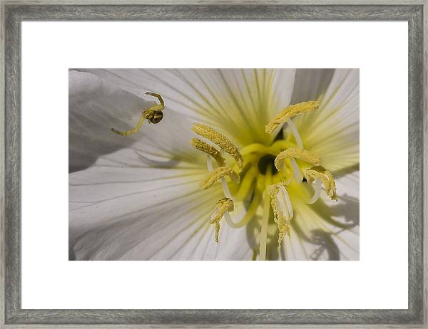 Crab Spider And Dune Evening Primrose Framed Print