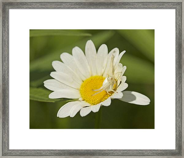 Crab Spider Framed Print by Brian Magnier