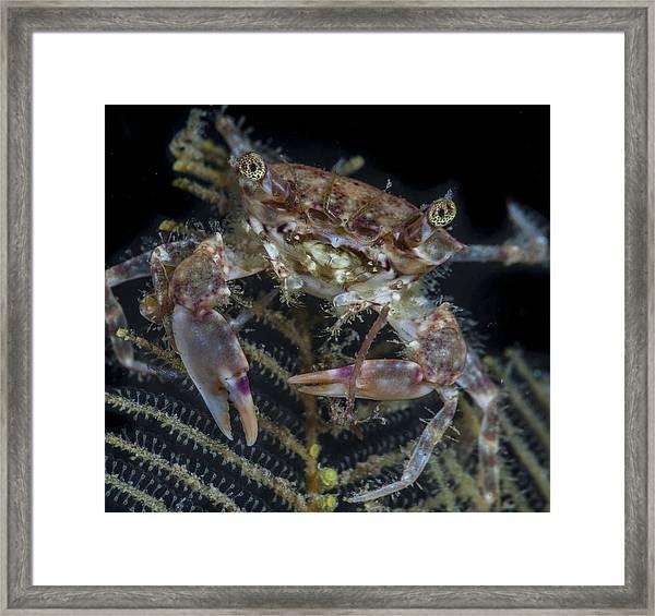 Crab Staring At You Framed Print