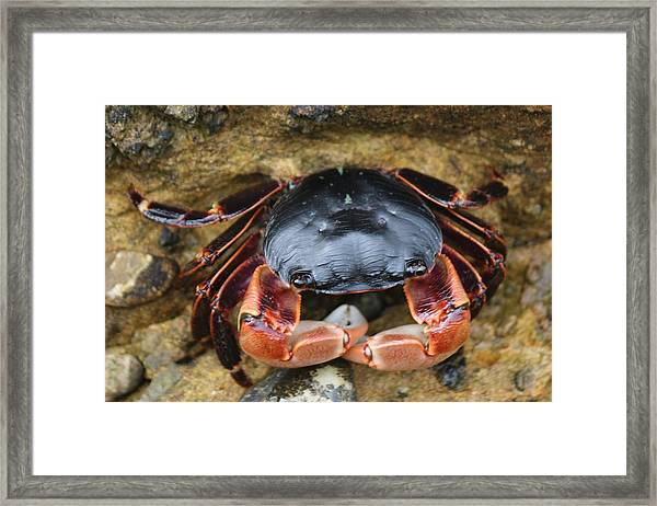 Crabby Pants  Framed Print