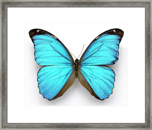 Cramer's Blue Butterfly Framed Print by Natural History Museum, London/science Photo Library