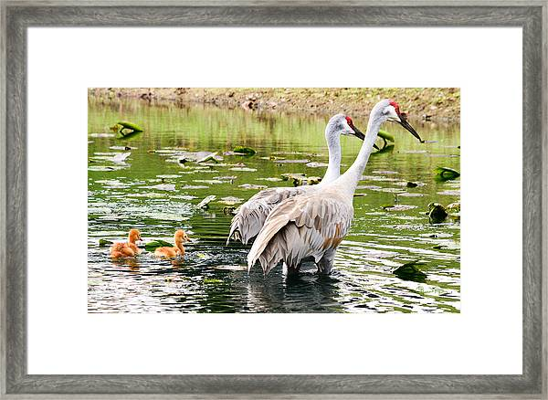 Crane Family Goes For A Swim Framed Print
