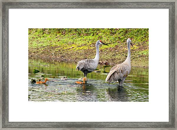 Crane Family Swim II Framed Print