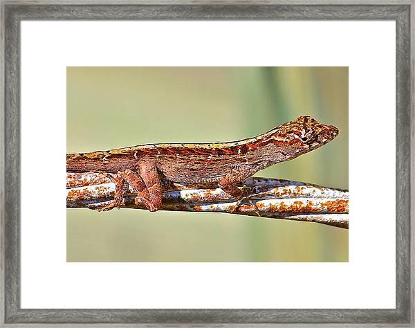 Crawling Lizard Framed Print