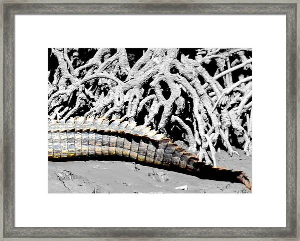 Framed Print featuring the photograph Crocodile Tail by Debbie Cundy