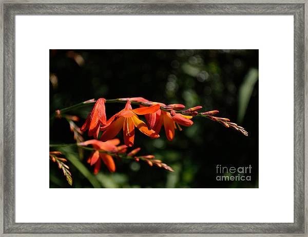 Framed Print featuring the photograph Crocosmia 'dusky Maiden' Flowers by Scott Lyons