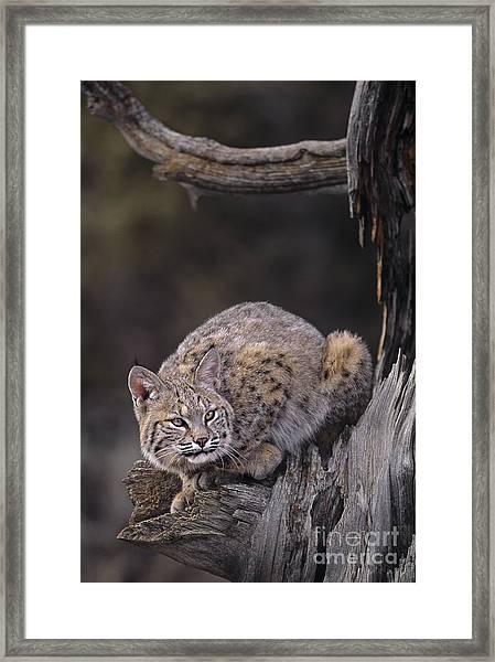 Crouching Bobcat Montana Wildlife Framed Print
