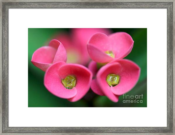 Crown Of Thorns Photo Framed Print
