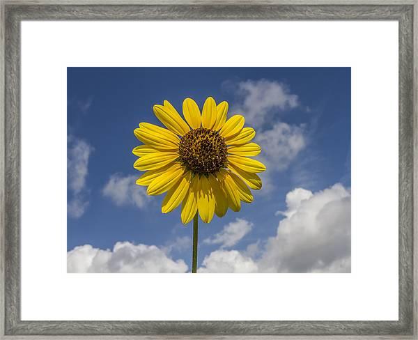 Cucumberleaf Sunflower Framed Print