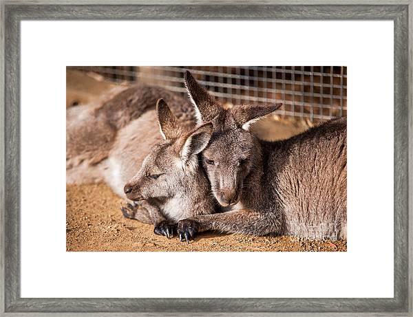 Cuddling Kangaroos Framed Print