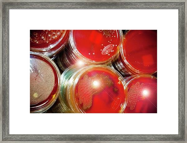 Cultures In Petri Dishes Framed Print
