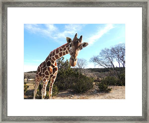 Curious Giraffe At Fossil Rim Wildlife Center Framed Print