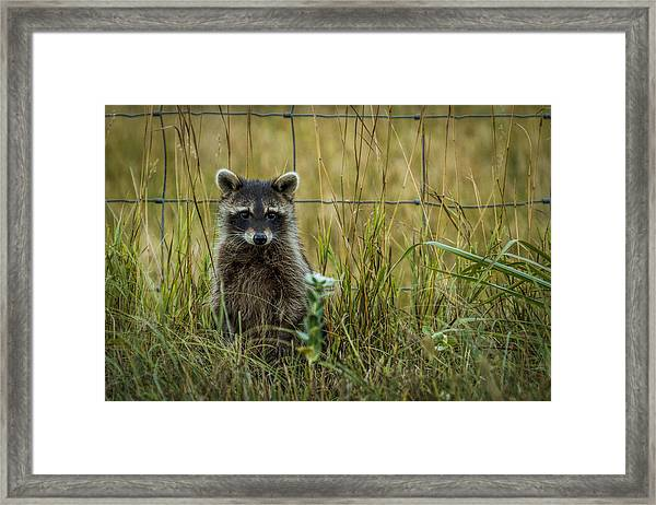 Curious Raccoon Framed Print