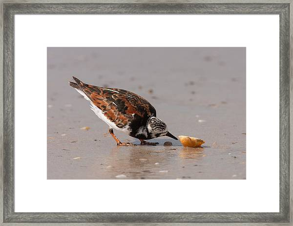 Curious Turnstone Framed Print