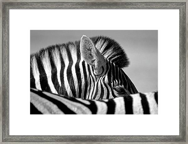 Curious Zebra Framed Print by Marc Pelissier