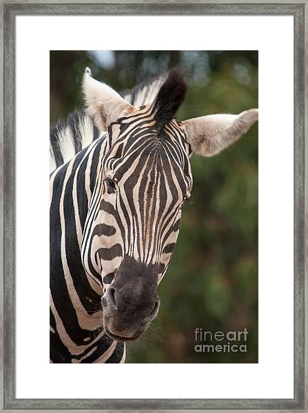 Curious Zebra Framed Print