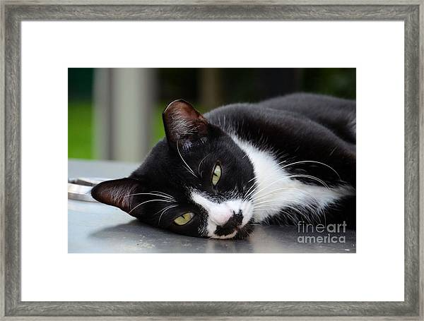 Cute Black And White Tuxedo Cat With Nipped Ear Rests  Framed Print
