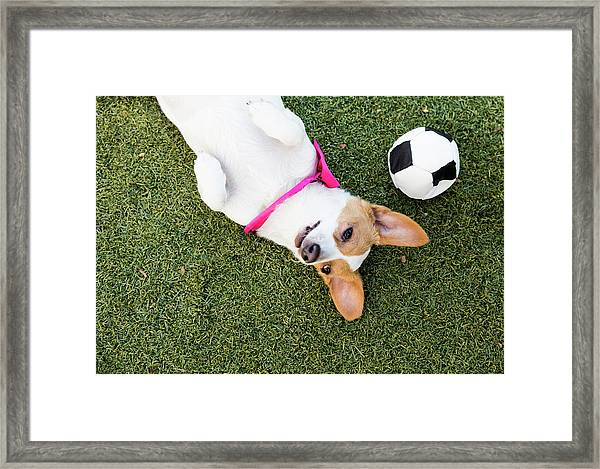Cute Jack Russell-dachshund Mix With A Framed Print by Amandafoundation.org