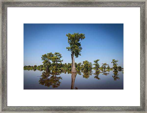 Cypress Tree Covered In Spanish Moss Framed Print