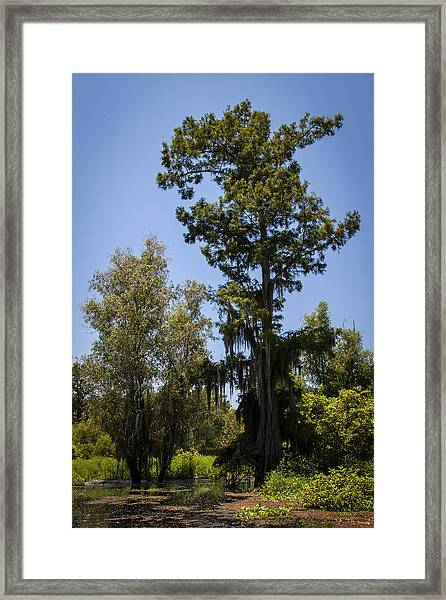 Cypress Tree With Moss Framed Print