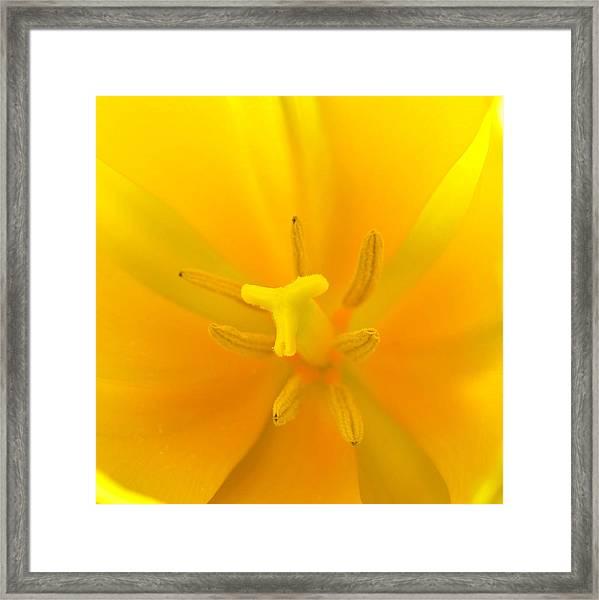 Daffodil Center Framed Print
