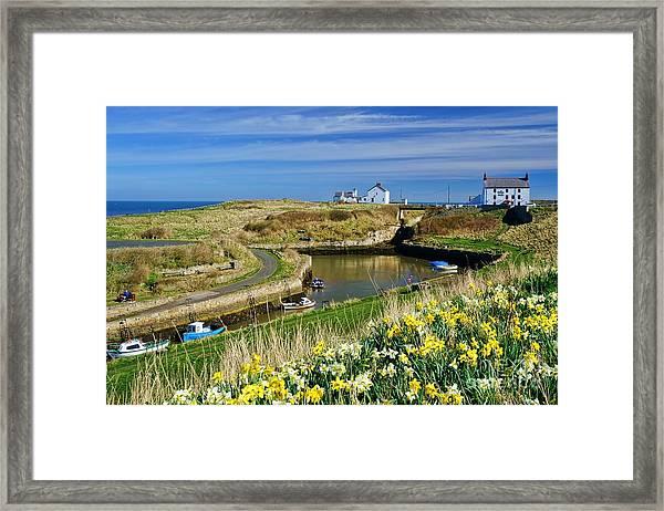 Seaton Sluice Harbour Daffodils Framed Print