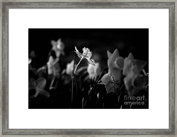 Daffodils In Black And White Framed Print